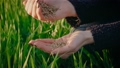 Wheat grains falling down in palm from female farmer hand in close up, slow motion.Unrecognizable person at sunset in spring 78196863
