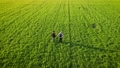 Couple of free hikers walking in rural landscape at breathtaking golden sunset in large green field with agricultural crops 78199515