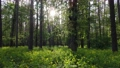 Wild forest landscape on a summer day 78211970