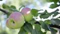 three ripe apples on tree branch by summer, sliding camera movement 78276681
