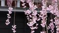 벚꽃, 수양벚나무, 수양벚꽃 78303213