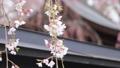 벚꽃, 수양벚나무, 수양벚꽃 78303214
