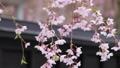 秋田県 角館の桜 武家屋敷通り 78303215