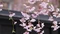 秋田県 角館の桜 武家屋敷通り 78303217