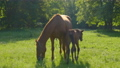 Horse and foal in the morning pasture 78504683