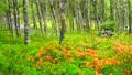 (長野県)美ヶ原高原 白樺平を走るオートバイ 78626602