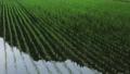 6月の田んぼに降る雨 田植え 梅雨 農業 78651199