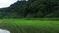 6月の田んぼに降る雨 田植え 梅雨 農業 78651203