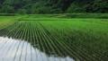 6月の田んぼに降る雨 田植え 梅雨 農業 78651204
