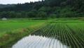 6月の田んぼに降る雨 田植え 梅雨 農業 78651205
