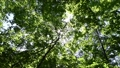 In the forest where the fresh green leaves sway beautifully in the wind 78656659