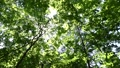 In the forest where the fresh green leaves sway beautifully in the wind 78656662