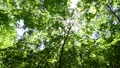 In the forest where the fresh green leaves sway beautifully in the wind 78656664