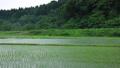 6月の田んぼ 雨 移動撮影 78686097