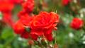 真っ赤な薔薇 78861031