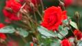 真っ赤な薔薇 78861032