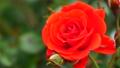 真っ赤な薔薇 78861033