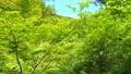 大阪 箕面川の新緑 78881269