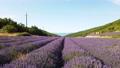 Lavender field at summer 79257199