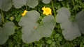 observation footage of ripening big pumpkin plant on garden ground 79437239