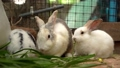 Group of the furry and fluffy cute small rabbit is eating green leaves with deliciousness In a rabbit raising farm 79546020