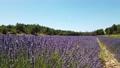 Lavender field at summer 79646079