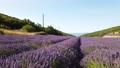 Lavender field at summer 79646080
