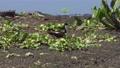 Black-necked Stilt in a nest in Florida wetland 79682955