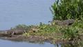 American alligators in Florida wetland 79682957