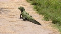 young alligator walking on a trail 79682958