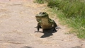 young alligator walking on a trail 79682959