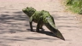 young alligator walking on a trail 79682960
