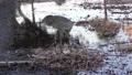 Sandhill Crane in a nest near lake 79682982