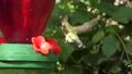 Ruby Throated Hummingbird feeds on nectar 79682984