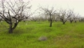Blooming apple trees with white flowers on branches in large garden. Natural frame. Scenic landscape view 79962566
