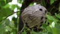 wasp's nest is hanging on a tree and wasps 80116632
