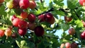 ripening gooseberry berries on a bush 80116639