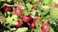 ripening gooseberry berries on a bush 80116640