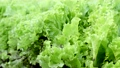 green lettuce leaves grow on beds in the garden 80116646