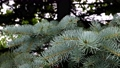 branches of a blue spruce in the forest 80116652