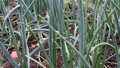 blooming onions on the beds in the garden 80116657