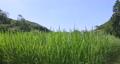 paddy field, rice field, paddy 80245598