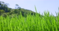 paddy field, rice field, paddy 80245599