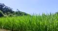 paddy field, rice field, paddy 80245600