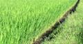 rice field, paddy field, paddy 80290291