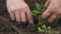 Farmer's hand planting and straightening bell pepper seedling in soil 80313300