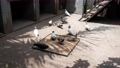 feeding pigeon birds on floor . 80351122