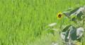 sunflower, sunflowers, vegetation 80383965