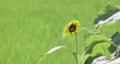sunflower, sunflowers, vegetation 80383966