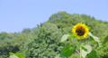 sunflower, sunflowers, vegetation 80383967